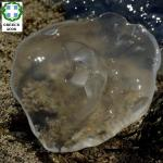 Aurelia sp PS9001