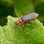 Cantharis (Cantharis) rustica 39664.jpg