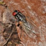 Hydrotaea sp cf female NF3441.jpg