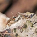 Boletina sp pair NE1166.jpg