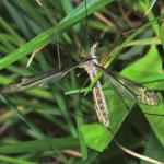 Tipula_sp_female_NH0688.jpg