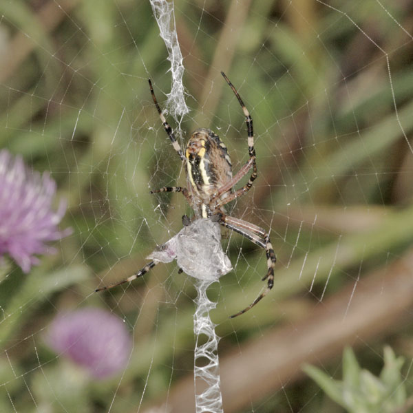 Argiope_bruennichi_female_PH6312.JPG