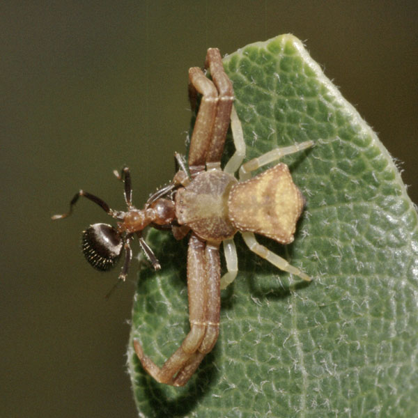 Pistius_sp_nymph_PH6405.JPG
