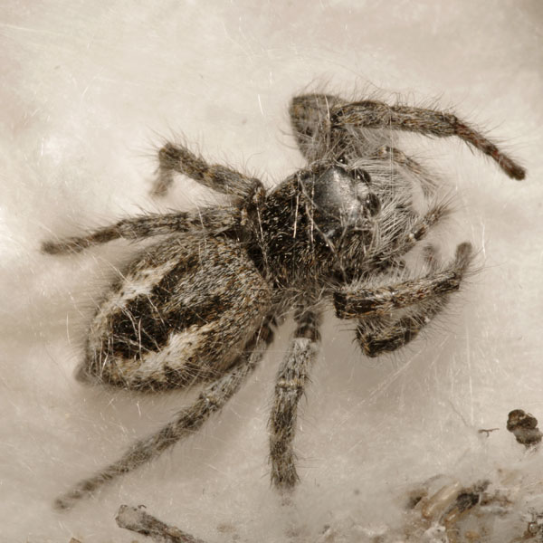 Salticidae_female_A4779_PH6483.JPG