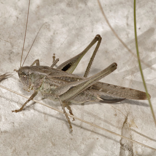 Platycleis_sp_female_PH6497.JPG