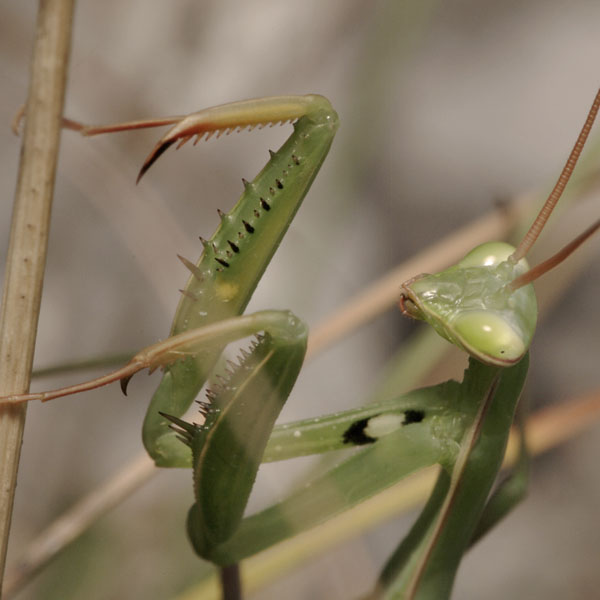Mantis_religiosa_PH6473.JPG