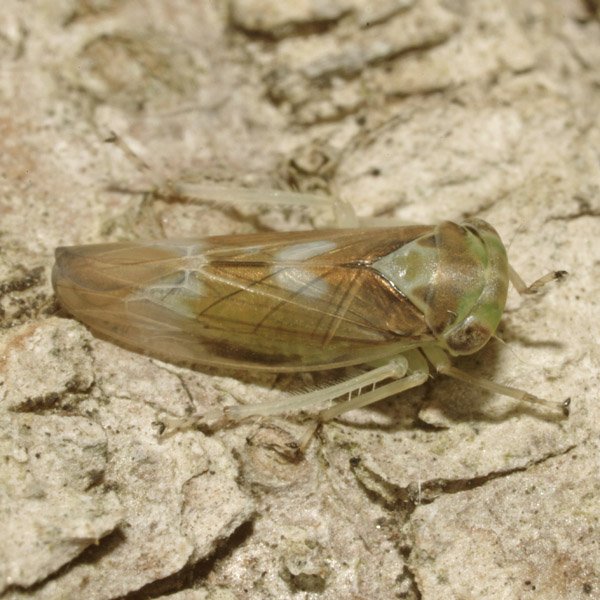 Populicerus_sp_female_A4337_PH0612.JPG