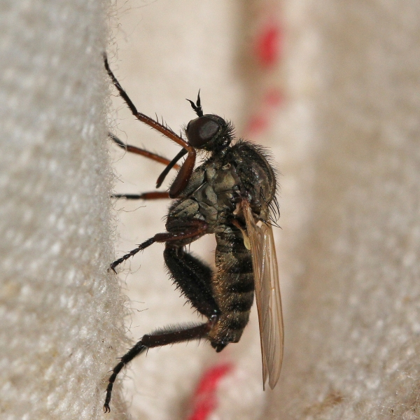 Empis 764S_AD_cr.jpg