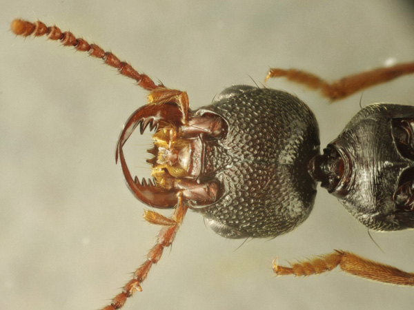 Staphylinidae_male_A5343_PS3861.jpg