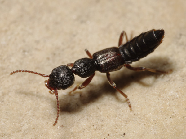 Staphylinidae_male_A5343_PJ4651.JPG