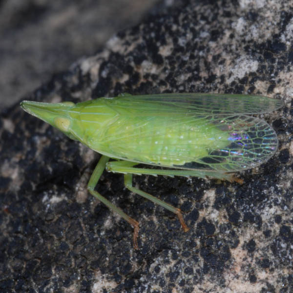 Dictyophara_sp_NK0704.jpg
