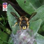 Anthidium