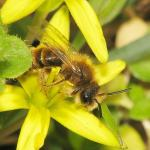 Andrena sp male GYH1019.jpg