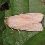 Mythimna_sp_NJ5198.jpg